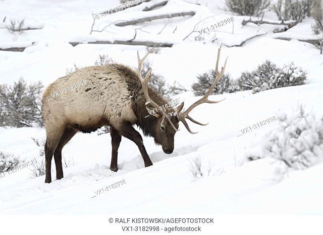 Elk / Wapiti ( Cervus canadensis ), bull in winter, pawing the snow, searching for food, Yellowstone NP, Wyoming, USA.