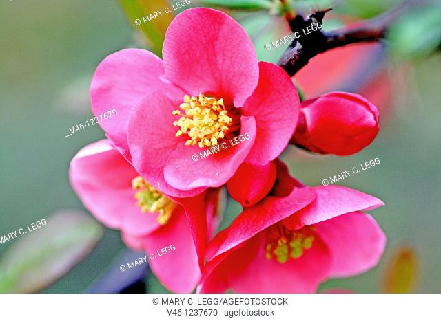 Group of flowering quince blossoms, Chaenomeles  Close up  Pink flowering plant with sharp thorns  Very sweet smelling plant  The plant bears a yellow aromatic...