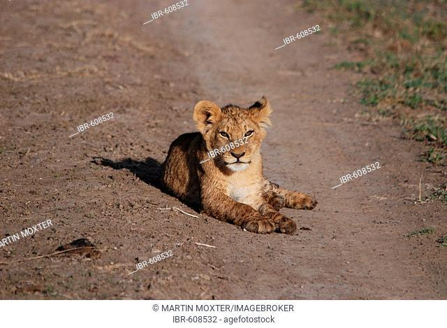 Lion cub (Panthera leo) lying on dirt road, Masai Mara, Kenya, Africa