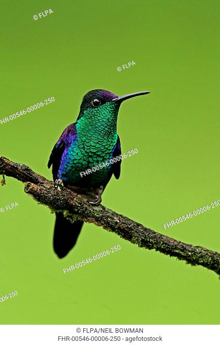 Violet-crowned Woodnymph (Thalurania colombica townsendi) adult male, perched on twig, Pico Bonito, Honduras, February