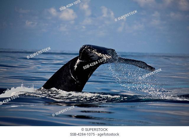 Humpback whale Megaptera novaeangliae breaching in the ocean, Turks and Caicos Islands