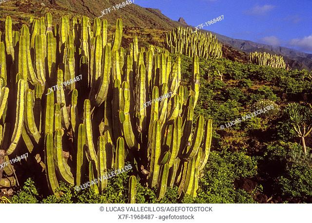 Cactus in Las Playas, El Hierro, Canary Island, Spain, Europe