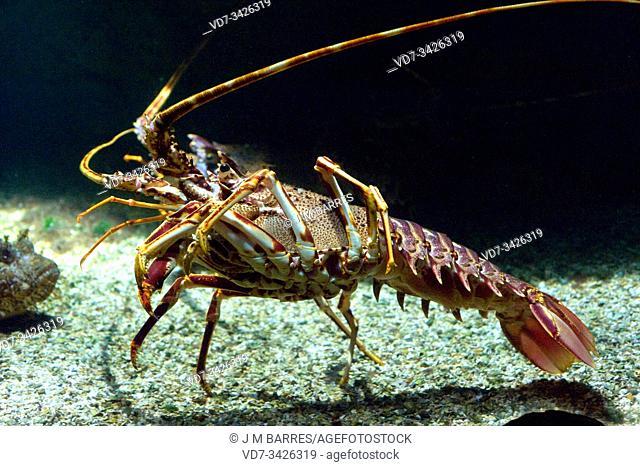 Mediterranean lobster (Palinurus elephas) is an edible crustacean native to Mediterranean Sea and eastern Atlantic Ocean
