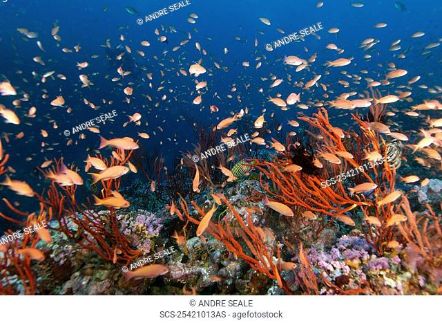 Thousands of scalefin anthias, Pseudanthias squamipinnis, hovering over colonies of red whip coral, Ellisella sp , Canyons, Puerto Galera, Mindoro, Philippines