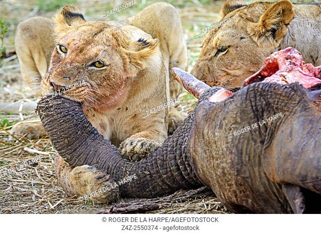 Masai lion or East African lion (Panthera leo nubica syn. Panthera leo massaica) feeding on an African bush elephant (Loxodonta africana) that they have killed