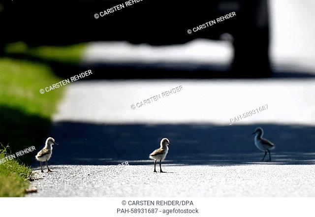 Pied avocet chicks walk across a street near Trennewurth, Germany, 04 June 2015. The chicks had made them selves comfortable on the warm but dangerous pavement