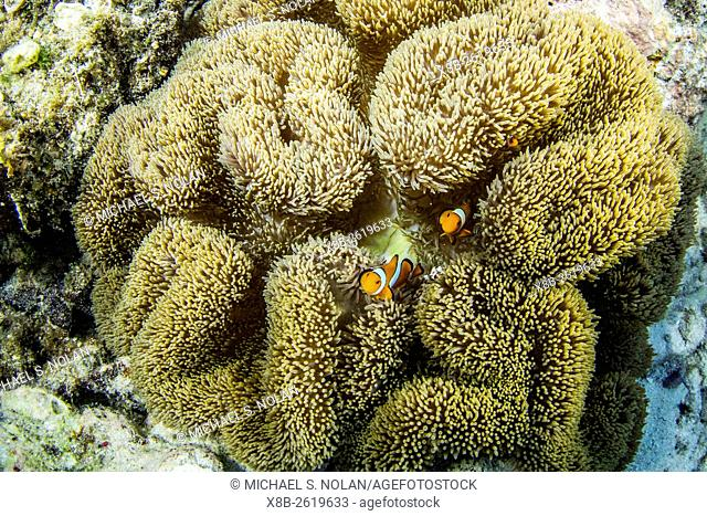 Underwater view of clownfish in anemone, Pulau Lintang Island, Anambas Archipelago, Indonesia