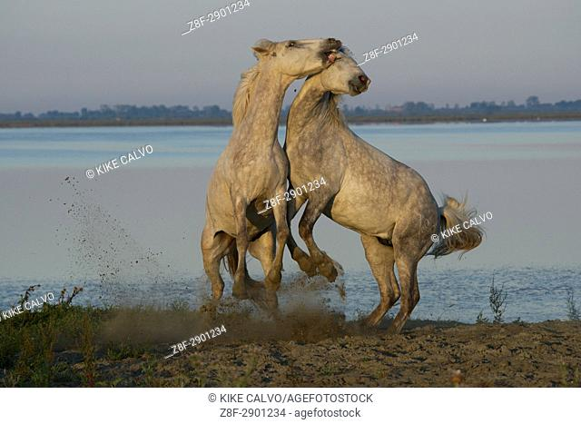 Camargue horses sparring