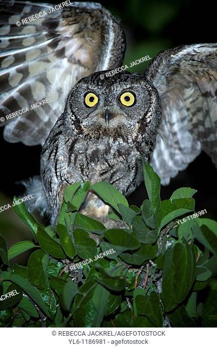 North America, USA, Arizona, Madera Canyon  Western Screech Owl taking flight