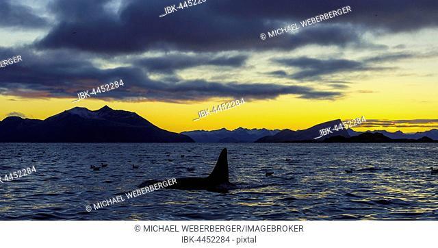 Orca (Orcinus orca) at sunset, mountains at back, Kaldfjorden, Tromvik, Norway