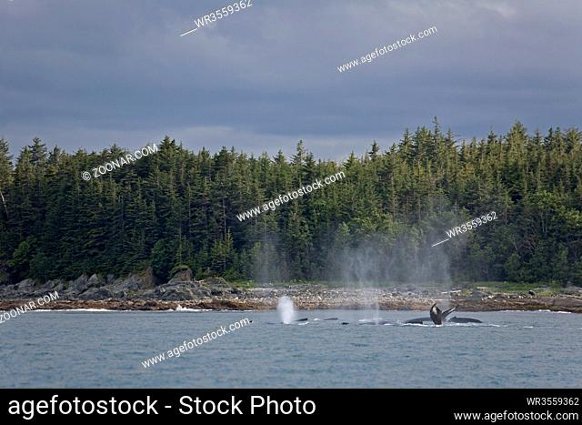Buckelwale - (Familie: Bartenwale) / Humpback Whale / Megaptera novaeangliae