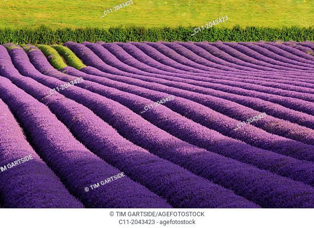 lavender; field; kent; england; uk