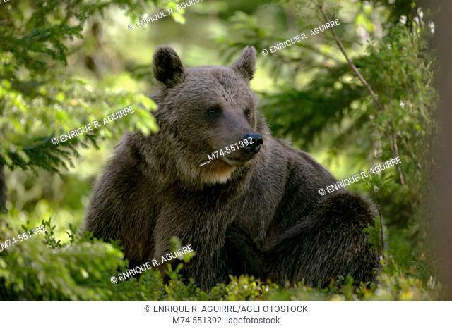 Brown bear (Ursus arctos) in the forest, Scandinavian taiga, Finland