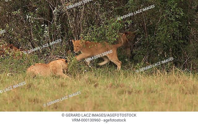 African Lion, panthera leo, Group standing near Bush, Cub playing, Samburu Park in Kenya, Real Time