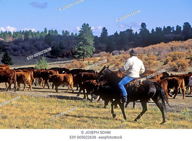 Cattle drive on Girl Scout Road, Ridgeway, CO