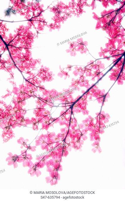 Pink Dogwood Blossom. Cornus florida pink. March 2005, Maryland, USA