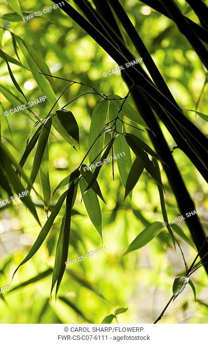 Bamboo, Black bamboo, Phyllostachys nigra