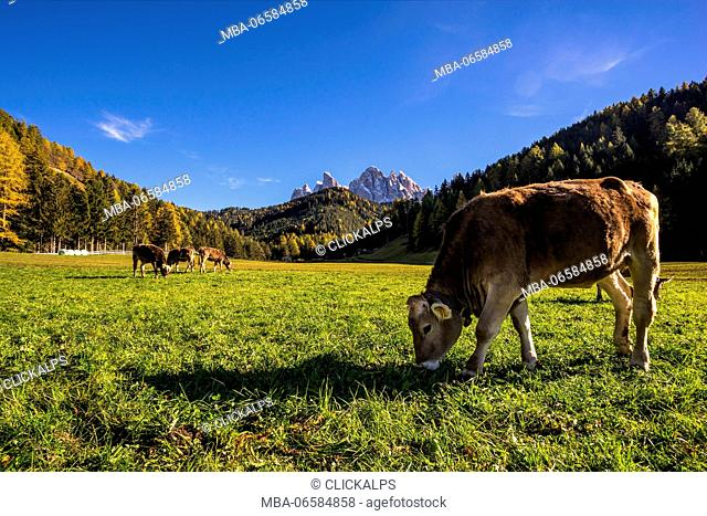 St. Johann in Ranui, Funes valley, Trentino Alto Adige, Italy, Grazing cows