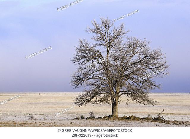Oak tree in winter; Cayton Valley, Northern California
