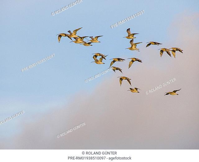 Eurasian Curlews, Numenius arquata / Große Brachvögel, Numenius arquata