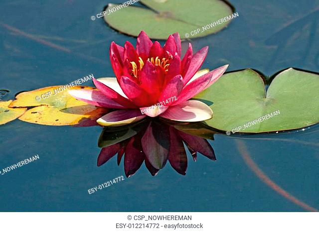 Nymphaea-Hybrid, Water-Lily