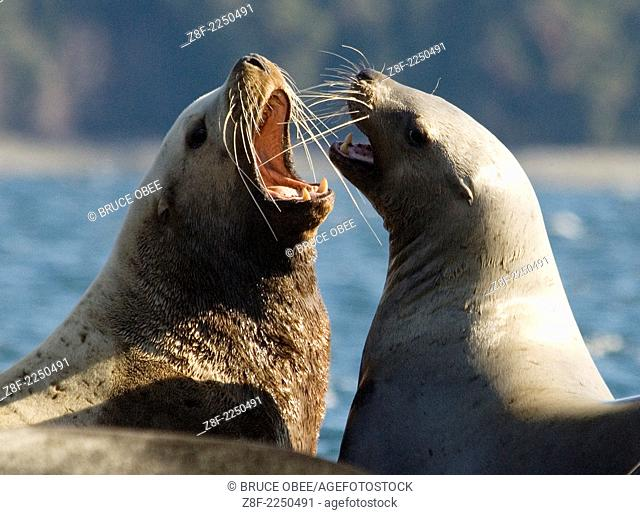 Spring herring spawns attract sea lions to Fanny Bay on Vancouver Island, British Columbia, Canada