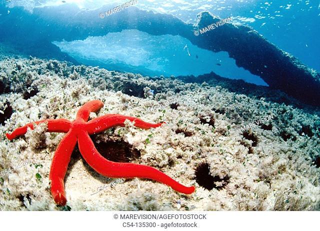 Starfish (Ophidiaster ophidianus). Mediterranean Sea