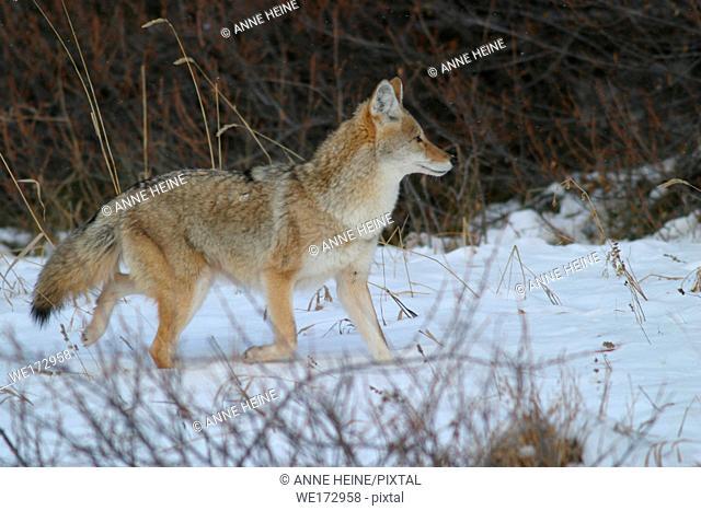 Coyote running. Along Kananaskis Trail (Hwy 49) in Kananaskis Country, Alberta,Canada