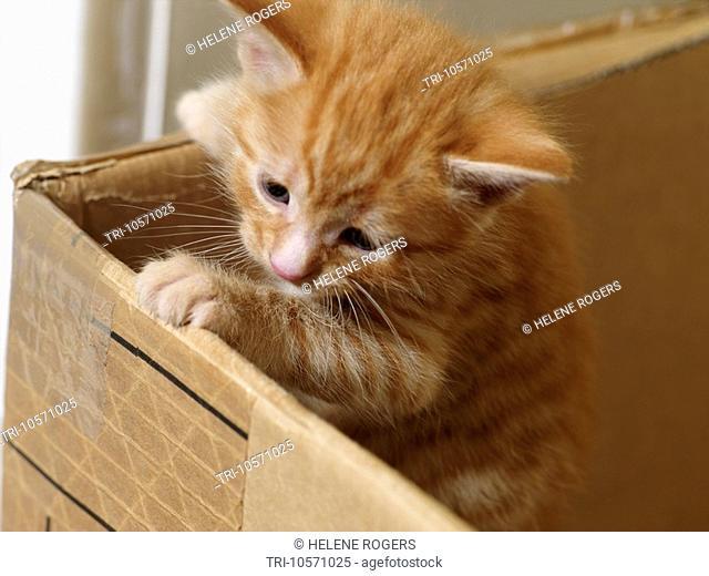 Four Week Old Ginger Kitten in a Cardboard Box