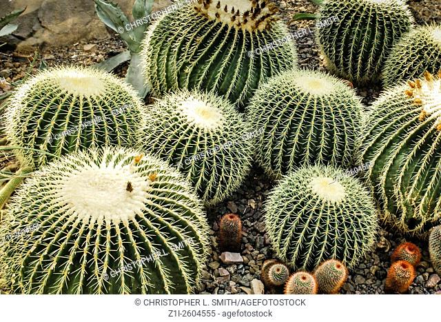 Golden Barrel - Cacti Echinocactus Grusonii from the Chihuahuan Desert