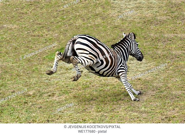 cheerful zebra -Equus burchell's- jumps on the grass in nature