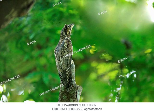 Common Potoo (Nyctibius griseus) adult, roosting on branch during daytime, Trinidad, Trinidad and Tobago, March