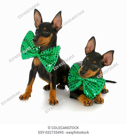 two toy manchester terrier puppies wearing matching green bow ties with reflection on white background