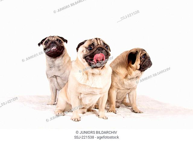 Pug. Three adults sitting on a plush blanket. Studio picture against a white background