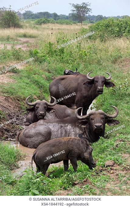 African buffalo, Cape buffalo, Syncerus caffer. It is peculiar to South and East Africa, weighing up to 910 kg, notably tall in size and ferocity
