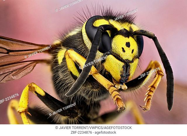 The German wasp has typical wasp colours of black and yellow. It is very similar to the common wasp (Vespula vulgaris), but its face has three tiny black dots