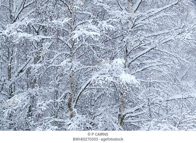 birch Betula spec., snow-covered branches, United Kingdom, Scotland, Cairngorms National Park, Glenfeshie