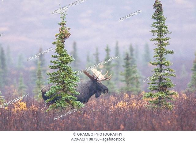 Bull moose in autumn mist, Denali National Park, Alaska, USA