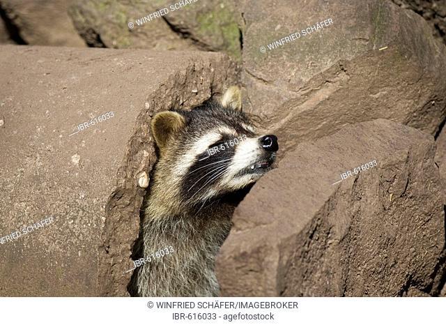 Raccoon (Procyon lotor), Freisen zoo, Germany, Europe