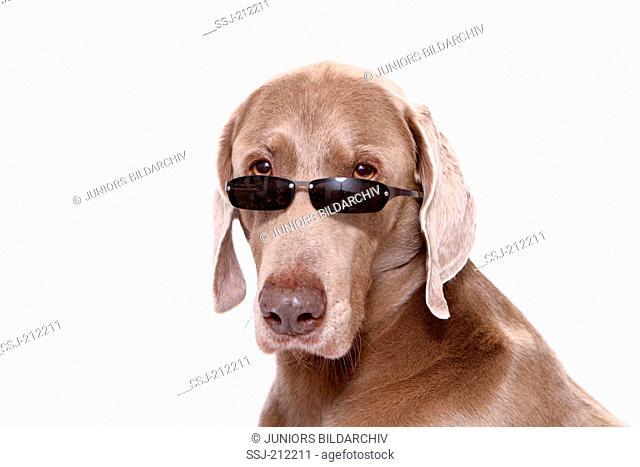 Weimaraner. Portrait of male wearing sunglasses. Studio picture against a white background. Germany