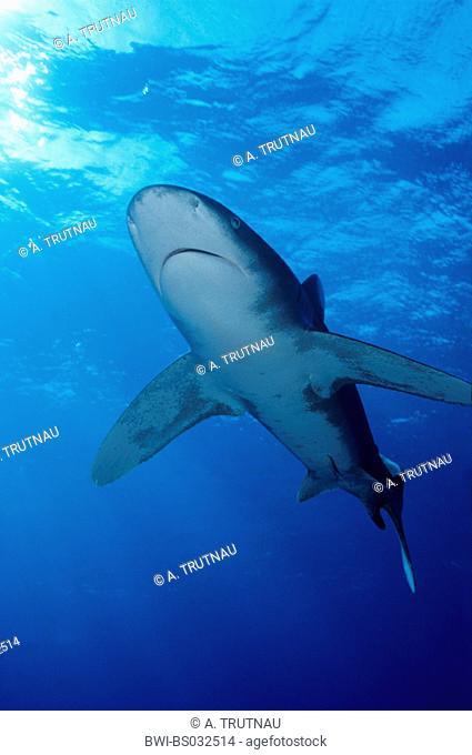 oceanic whitetip shark, whitetip shark, whitetip oceanic shark (Carcharhinus longimanus, Carcharhinus maou), from below, Egypt, Elphinstone Riff