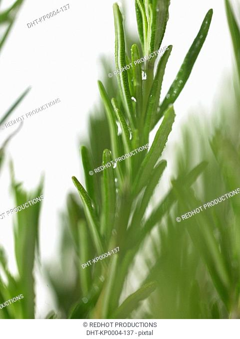 Bunch of Rosemary sprigs