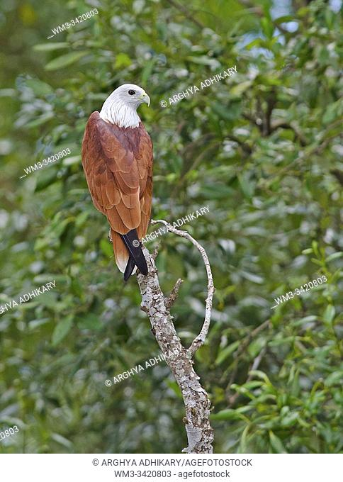A Brahminy Kite is resting on an open perch at Sunderban Tiger Reserve in . West Bengal, India