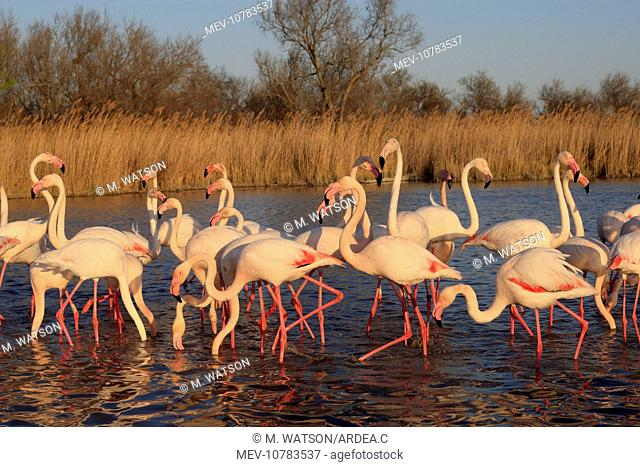 Greater Flamingo - group / flock in water. (Phoenicopterus ruber)