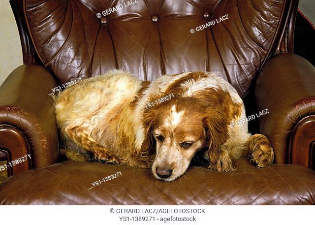 Brittany Spaniel Dog, Female sleeping on Armchair