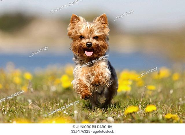 Yorkshire Terrier running on a meadow with flowering Dandelion