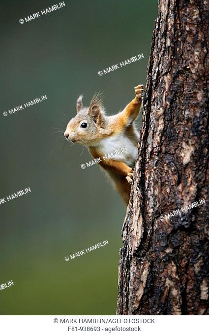 Red Squirrel Sciurus vulgaris peering around pine tree  Scotland  Decmber 2007