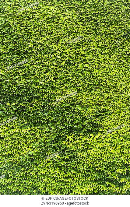 overgrown wall, green ivy background, , stuttgart, baden-wuerttemberg, germany