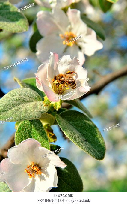 The bee collects honey on the apple tree inflorescence