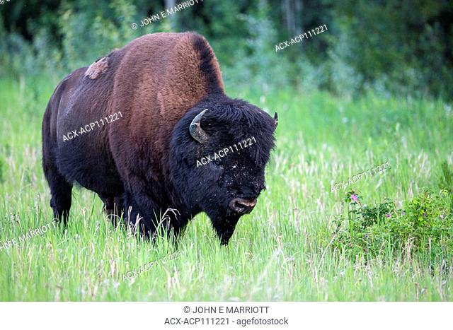 Adult male Wood bison, Bison bison athabascae, in Northern , British Columbia, Canada